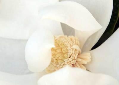 Magnolia08