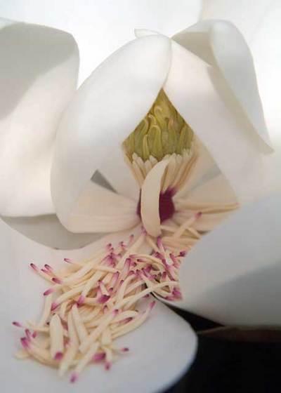 Magnolia81